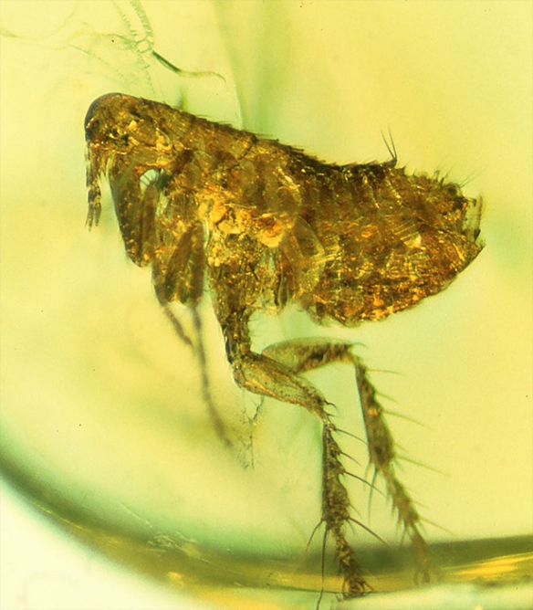 George Poinar, Jr., courtesy of Oregon State University Το ηλικίας 20 εκατομμυρίων ετών πορτοκαλί κέλυφος ψύλλου ενδέχεται να περιέχει πρόγονο του βακτηρίου της πανώλης.- η φωτογραφία προέρχεται από σχετικό άρθρο του Quanta Magazine με τίτλο The Biology of the Plague.