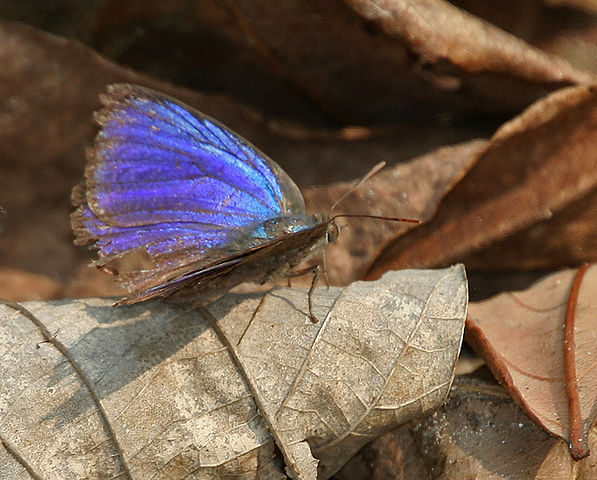 J.M.Garg - Own work LARGE OAKBLUE Arhopala amantes at Jayanti in Buxa Tiger Reserve in Jalpaiguri district of West Bengal, India. πηγή wikipedia