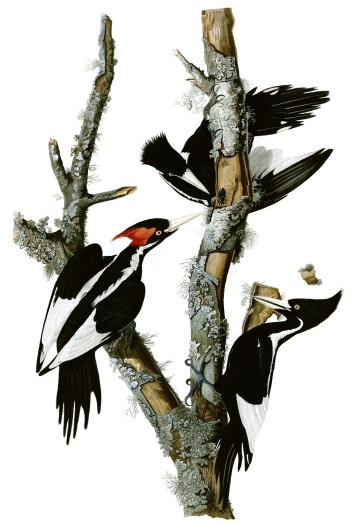 John James Audubon - Birds of America Ivory-billed Woodpecker , Campephilus principalis, hand-colored engraving. Male on the left, female on the right.