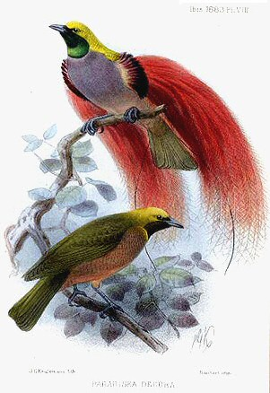 Goldie's bird-of-paradise: Ornamented male above; female below. Paradesia decora by John Gerrard Keulemans (d.1912)_wikipedia