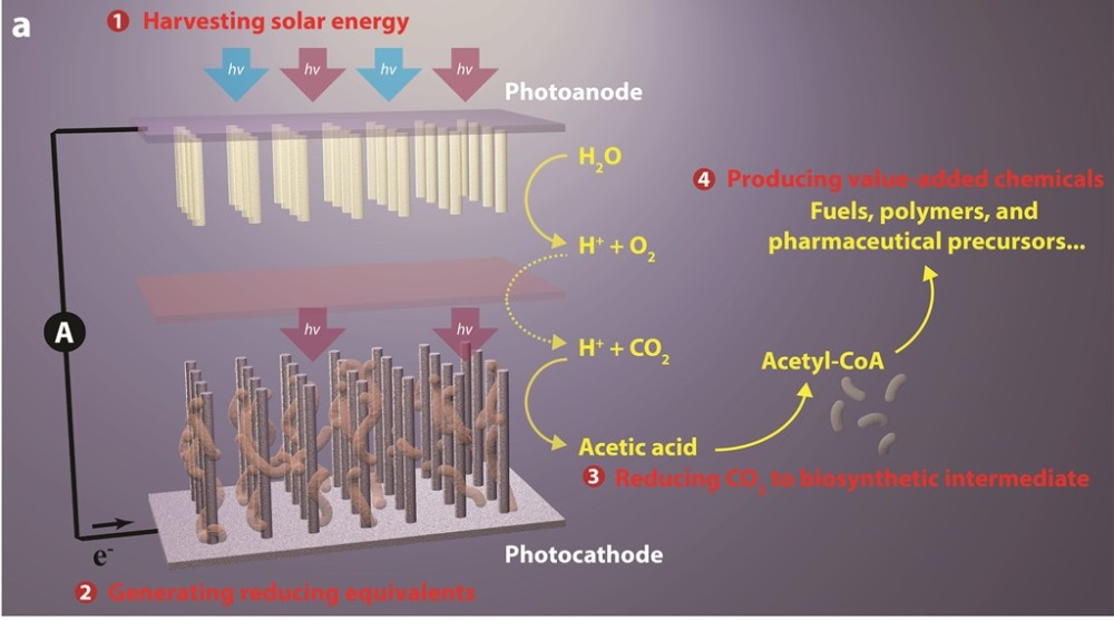 This break-through artificial photosynthesis system has four general components: (1) harvesting solar energy, (2) generating reducing equivalents, (3) reducing CO2 to biosynthetic intermediates, and (4) producing value-added chemicals.