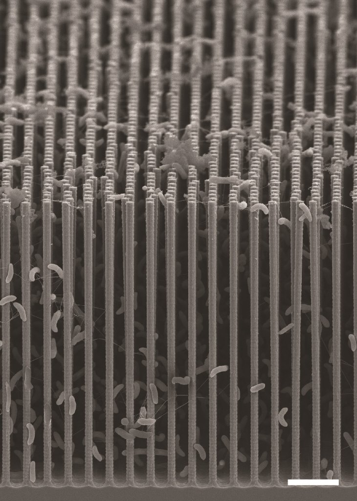Cross-sectional SEM image of the nanowire/bacteria hybrid array used in a revolutionary new artificial photosynthesis system.