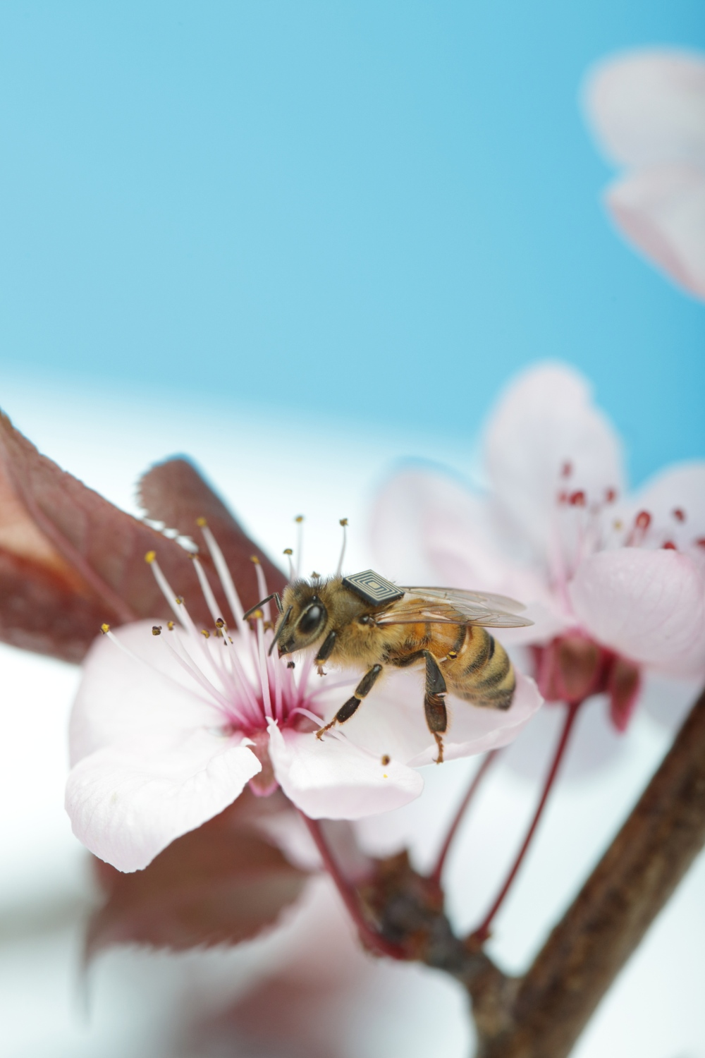 The health of honey bees is under increasing pressure on a global scale. The impact of losing the free pollination services provided by feral honey bees will be farmers paying beekeepers to bring bees in to pollinate their crops, resulting in price hikes in everything from cucumbers and oranges, to cashews and onions. © CSIRO