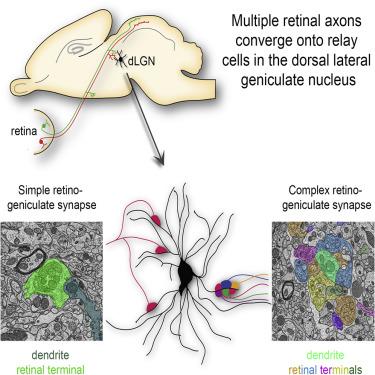 sagittal p1 brain retino-recipient targets