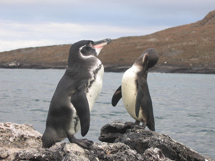A new study compared sea surface temperatures with endangered Galapagos Penguin population counts and found that the penguin population doubled while waters cooled around their nesting islands. (Courtesy of Snowmanradio/Flickr)