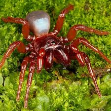 A rare red mouse spider, (Missulena bradleyi). Image Credit: (c) Nick Volpe
