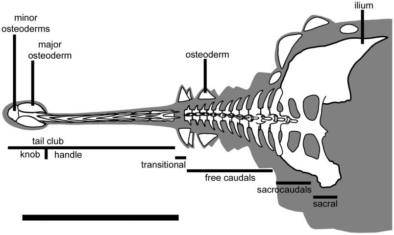 reconstruction of an ankylosaurid's tail