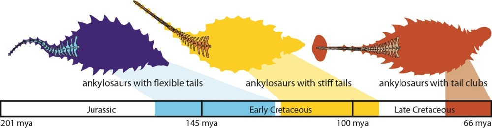 A timeline showing the steps in the evolution of ankylosaur tail clubs. (Credit: Victoria Arbour)