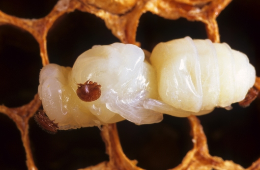 The Varroa mite, seen here latched onto a bee pupae, is the most significant pest to honeybees around the world. © CSIRO