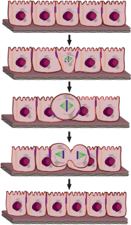 Epithelial cells migrate to the surface to divide. (Visualisations: Sorce B et al. Nature Communications 2015)