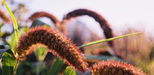 Foxtail millet _Credit: John Moore