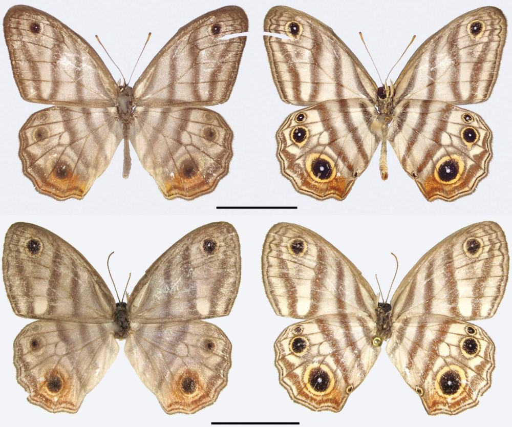 The Attenborough's black-eyed satyr (Euptychia attenboroughi): male (upper row) and female. Scale bars – 1 cm. Image credit: Andrew Neild / Trustees of the Natural History Museum, London.