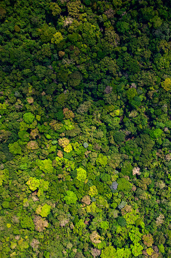 "Princeton University researchers suggest in a new theory of land-biome evolution that plants are not passive features of their environments, but may instead actively behave in ways that determine the productivity and composition of their ecosystems. The theory was developed to explain why trees known as ""nitrogen fixers,"" which produce their own fertilizer from atmospheric nitrogen, flourish in nitrogen-rich tropical soils, but are short-lived in the nitrogen-poor soils of boreal or temperate forests. The aerial photo above shows a rainforest in Panama in which nitrogen-fixing trees are abundant (about 10 percent of all trees), diverse, and persist in both young and old forests. The researchers found that tropical nitrogen fixers evolved to stop producing nitrogen in order to compete with neighboring trees. (Photo courtesy of Smithsonian Tropical Research Institute, Panama)"