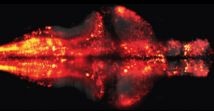 The neuron-level recordings of a stimulated larval zebrafish brain. Courtesy of Misha Ahrens.