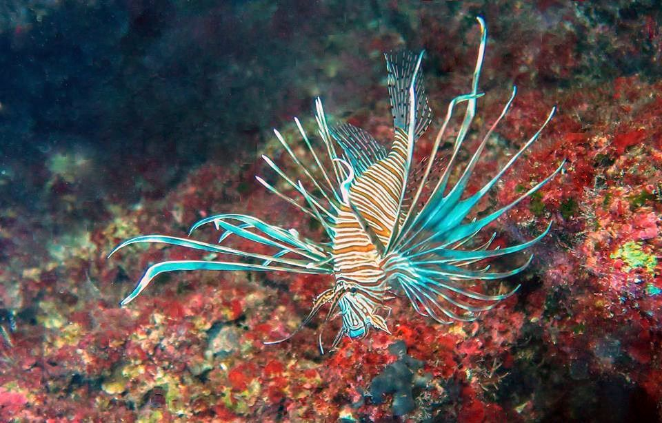A lionfish specimen photographed in the Mediterranean. Credit: Maria Papinikola Plymouth University URL [https://www.plymouth.ac.uk/news/lionfish-invading-the-mediterranean-sea]
