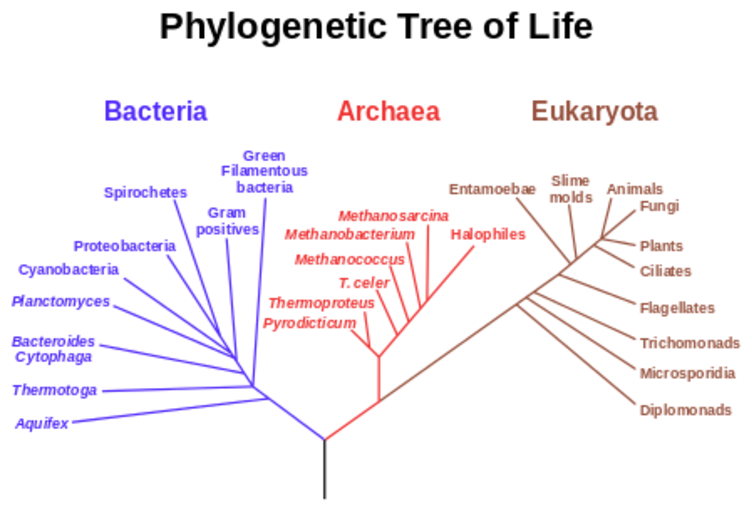 A speculatively rooted tree for rRNA genes, showing the three life domains Bacteria, Archaea, and Eucaryota, and linking the three branches of living organisms to the last universal common ancestor (the black trunk at the bottom of the tree). Note that the most modern models now place the origin of the eukaryotes within the archaeal lineage. wikimedia, CC BY-SA