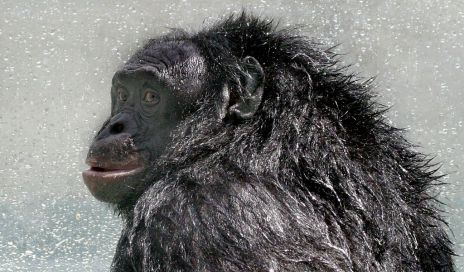 Kanzi (born October 28, 1980), is a male bonobo who has been featured in several studies on great ape language. According to Sue Savage-Rumbaugh, a primatologist who has studied the bonobo throughout his life, Kanzi has exhibited advanced linguistic aptitude. (wikipedia)