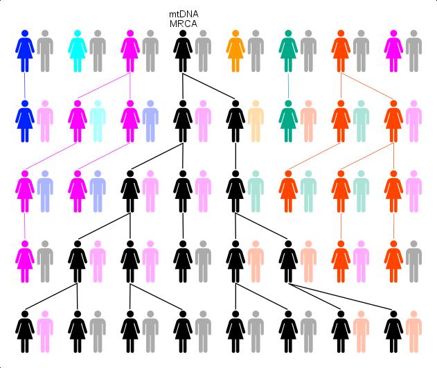 Μέσω της γενετικής παρέκκλισης ή επιλογής η θηλυκή γενεαλογία μπορεί να οδηγήσει πίσω σε ένα μοναδικό θηλυκό, όπως η Μιτοχονδριακή Εύα (wikipedia)