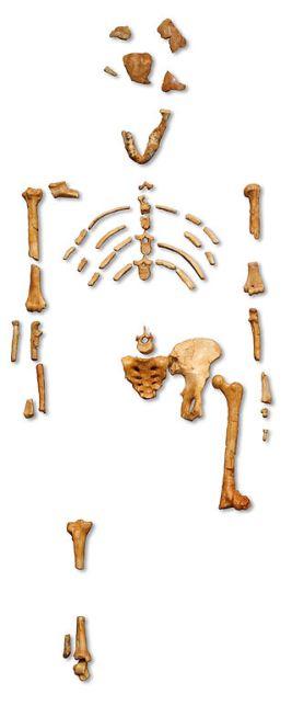 Ο σκελετός της Λούσι (Αυστρολοπίθηκος afarensis)