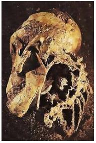 Κρανίο αυστραλοπίθηκου afarensis τριών εκατομμυρίων ετών (Αιθιοπία)