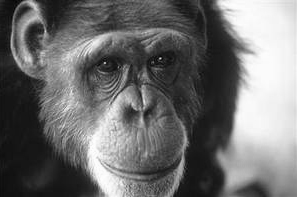 Washoe (c. September 1965 – October 30, 2007) was a chimpanzee who was the first non-human to learn to communicate using American Sign Language (wikipedia)