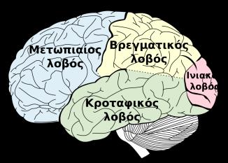 Οι λοβοί του εγκεφάλου (wikipedia)
