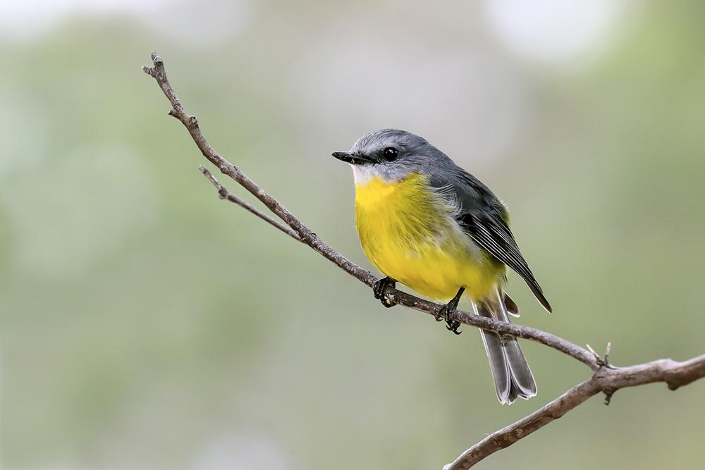 robin-yellow_patrickkavanagh_TZ.jpg