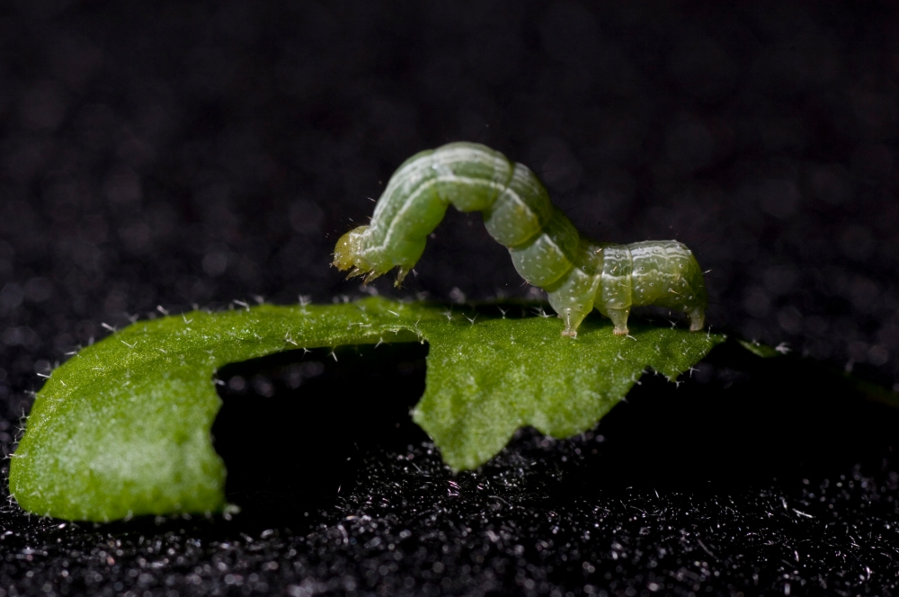 Catapillar's on Arabidopsis thaliana plants